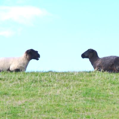 向かい合わせの白い羊と黒い羊