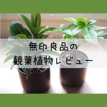 無印良品の観葉植物レビューの文字とパープルコンパクタとパキラの写真