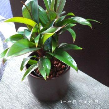 無印良品の『瀬戸焼の鉢の観葉植物』の『パープルコンパクタ』