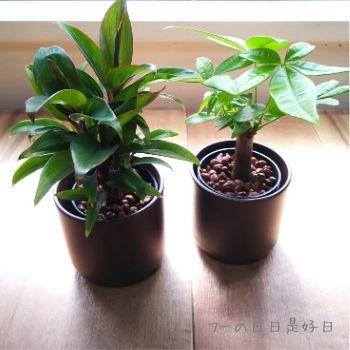 無印良品の『瀬戸焼の鉢の観葉植物』の『パープルコンパクタ』と『パキラ』