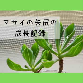 多肉植物マサイの矢尻の写真と『マサイの矢尻の成長記録』の文字