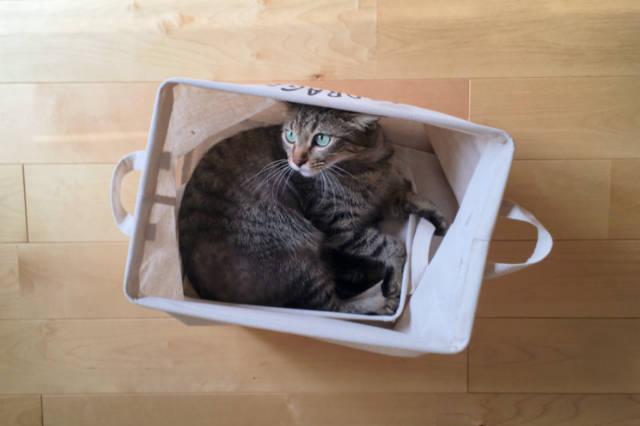 ランドリーバスケットに入った猫