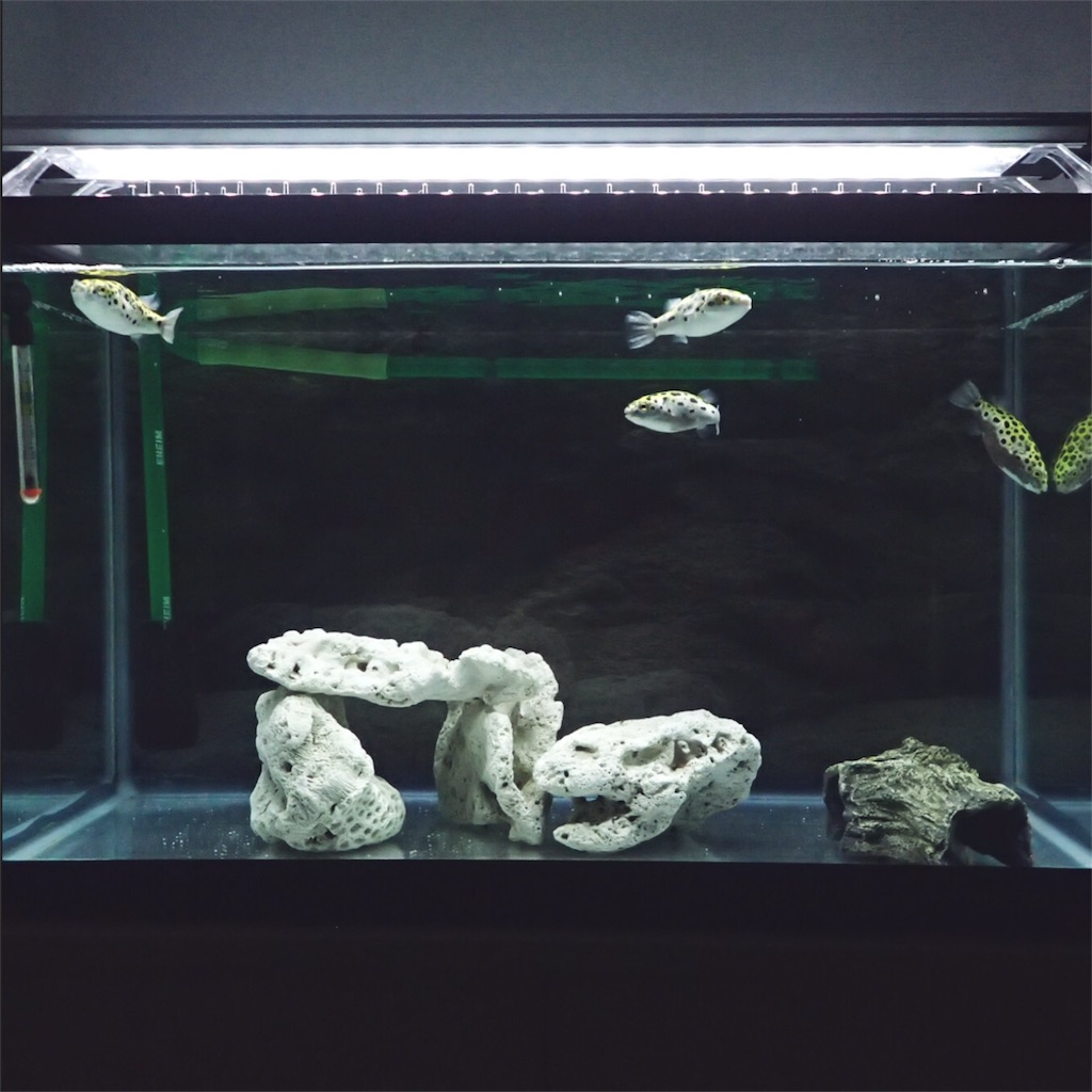 ミドリフグ水槽のレイアウト全体像