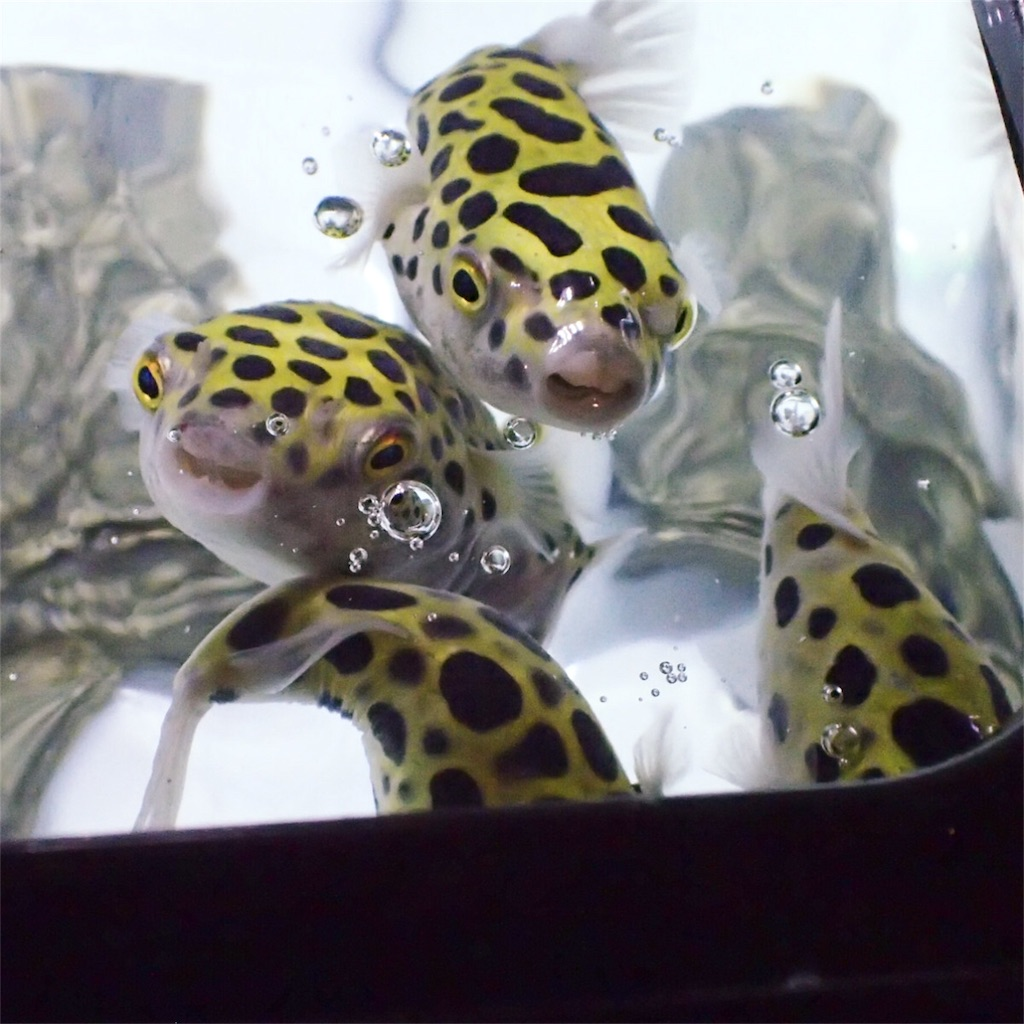 水面に集まる四匹のミドリフグ