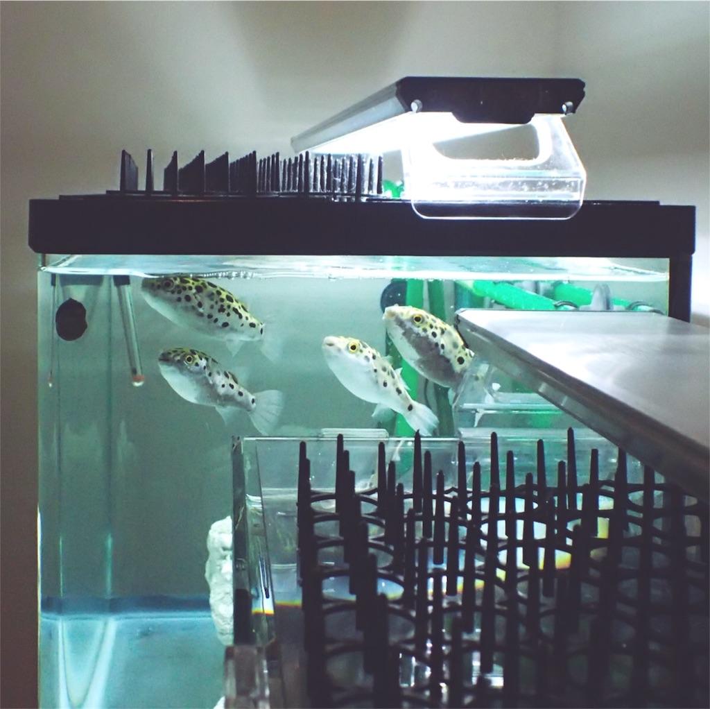 餌を待つ四匹混泳のミドリフグ