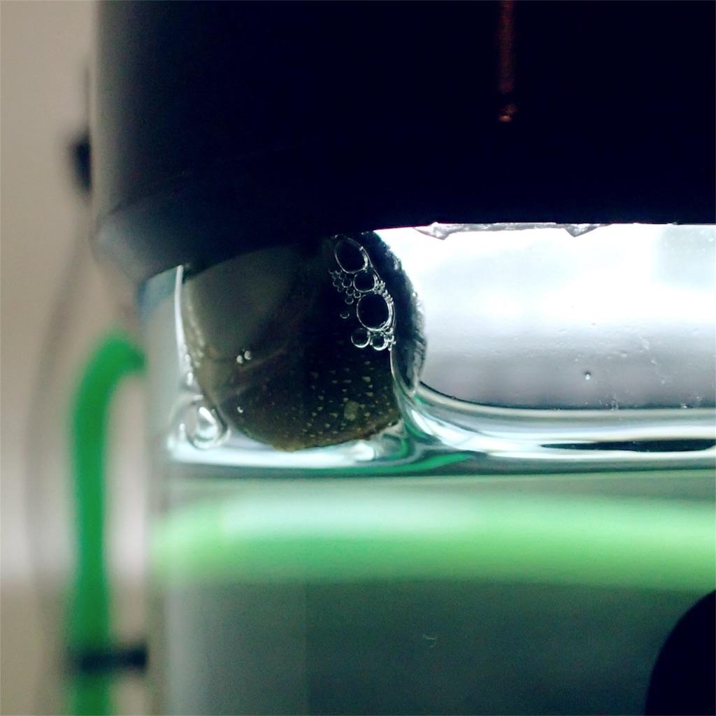 汽水に適応するカノコ貝