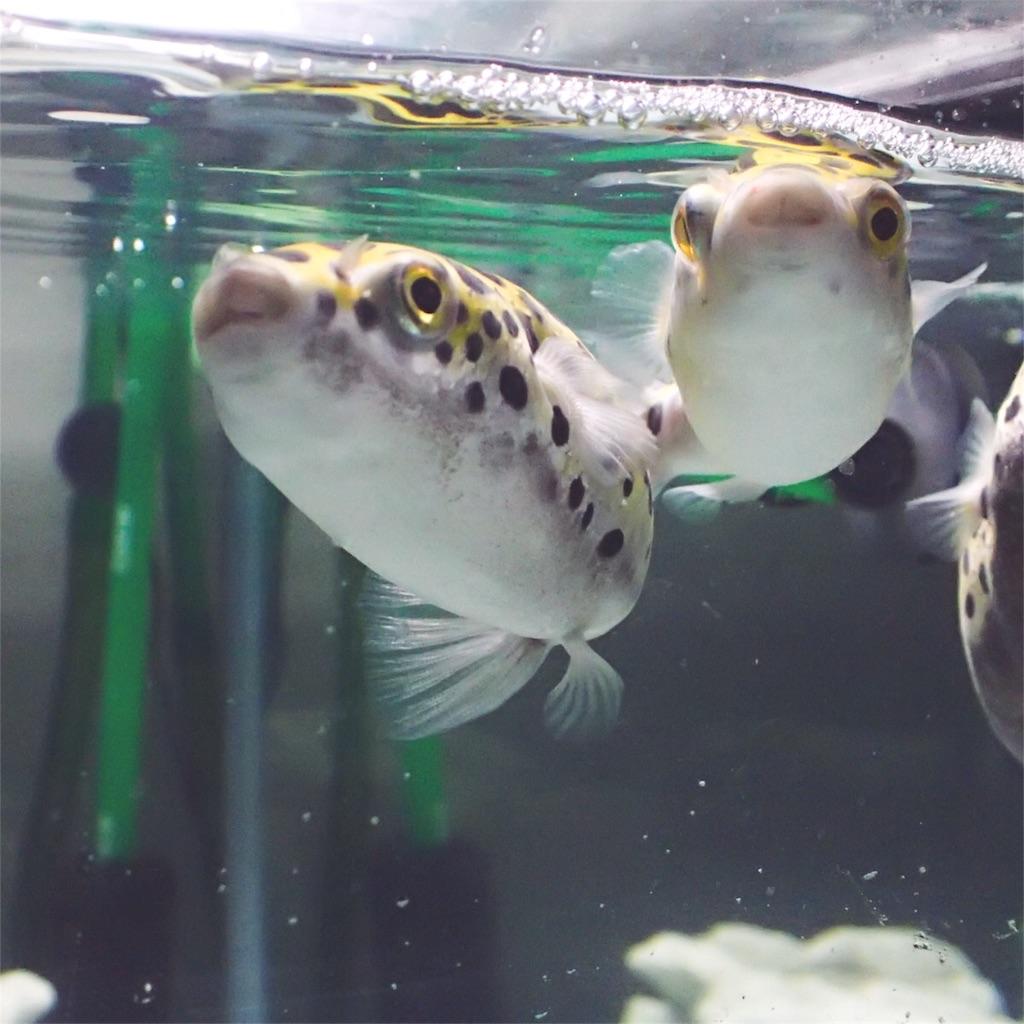 水面に泡をつくるミドリフグ