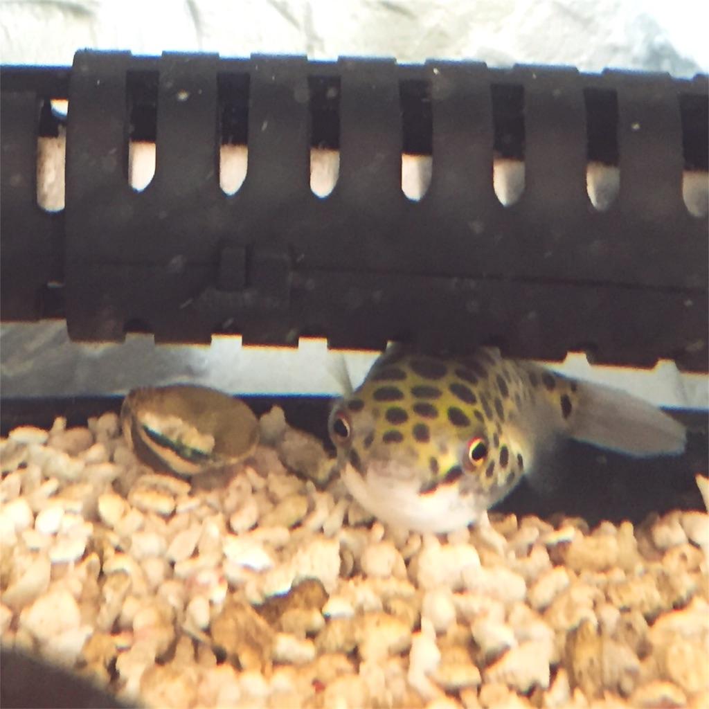 アサリの殻とミドリフグ