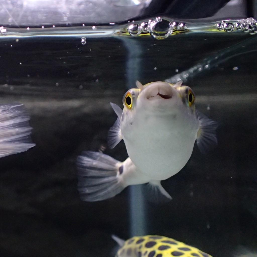 水面を凝視するミドリフグ