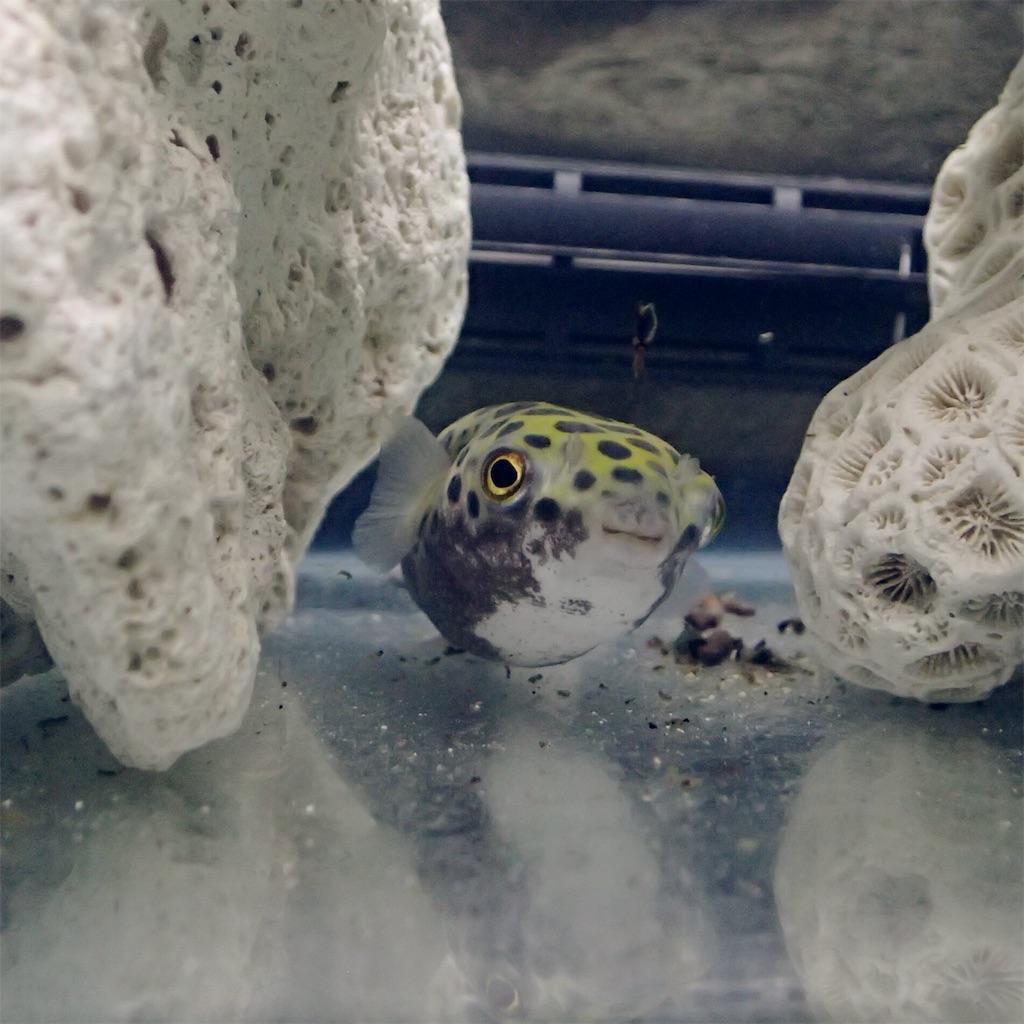 赤虫を食べて立ち去るミドリフグ