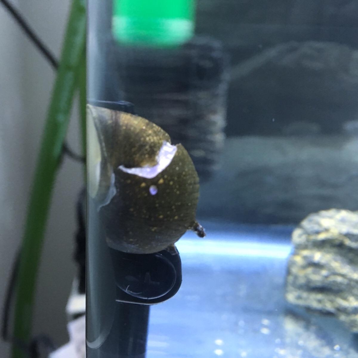 ミドリフグ水槽にいるカノコ貝
