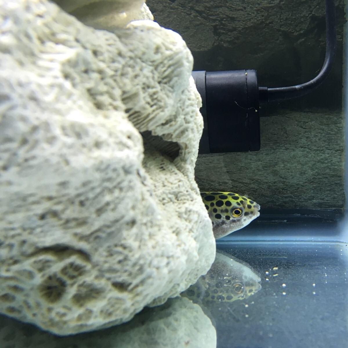 サンゴとヒーターに身を潜めるミドリフグ