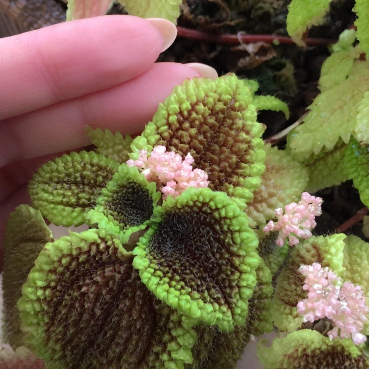 ピレア・ムーンバレーは、ピンク色の小さな花を沢山咲かせます