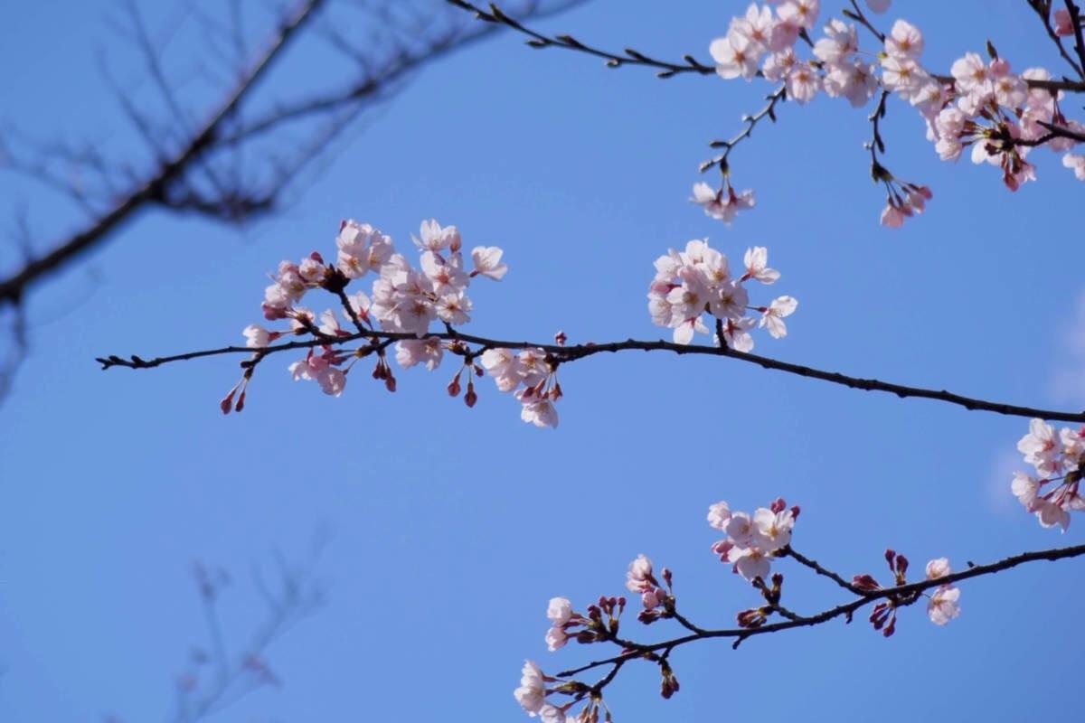 快晴の青空と桜