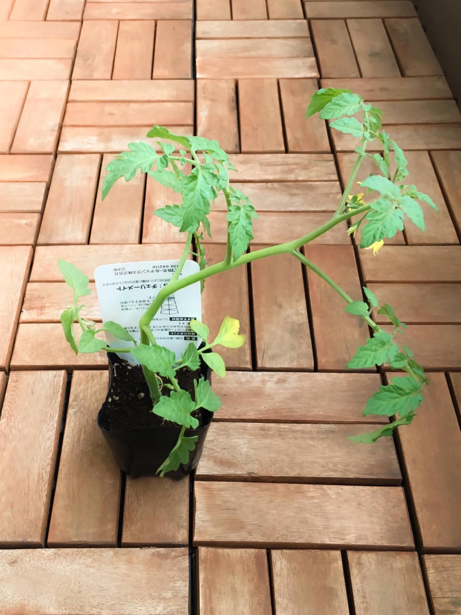 ミニトマトをあんどん仕立てにするためには、ポット苗を寝かせて1日置くことで苗がカーブするので仕立てやすくなる。まる1日倒しておくと90度近い角度で曲がる。