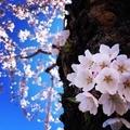 桜 2019年函館