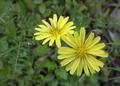 オオジシバリの花、二輪