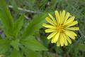[花][植物]オオジシバリの花