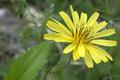 [花][植物]オオジシバリの花、拡大