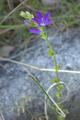 [花][植物]日陰のキキョウソウ