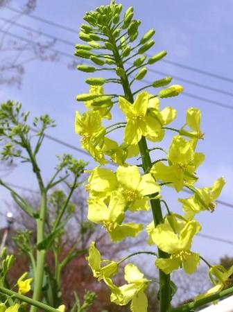杖キャベツの花