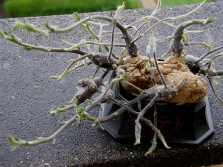 [bonsai][potato][2]