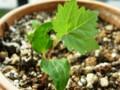 ブドウ発芽