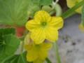 メロンの雄花