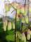 ハカラメの花