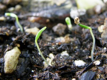 クコの発芽