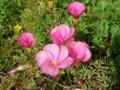 オキザリス・桃の輝き