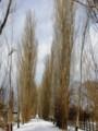 ポプラ並木(冬)