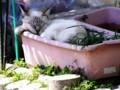 プランター猫