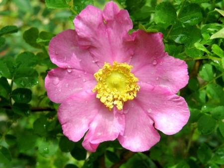 姫山椒薔薇