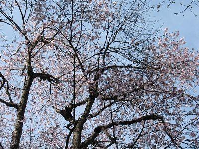 五十沢の種まき桜