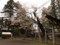 八乙女種蒔き桜