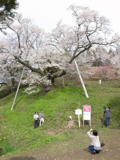 浅立の殿入桜