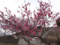 大森山公園の梅