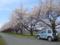 寒河江川河畔の桜並木