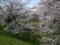 達磨寺の桜