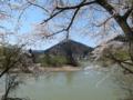 朝日町川通付近でみた桜