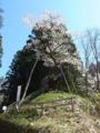 赤坂薬師桜・今年は盛んに咲いてます