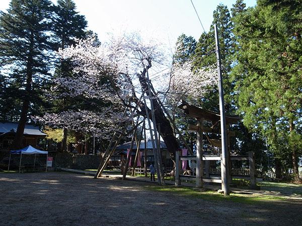 八乙女の種まき桜も見てきたぜ