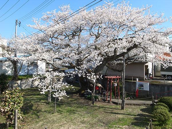 朝日町の伊豆大権現桜