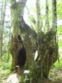 ブナの大木・山の王