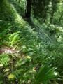 シャガの茂る斜面