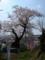 まずか子守堂の桜から