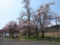 十二の桜も咲いてます