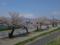最上川堤防の千本桜