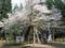 荒砥の八乙女種まき桜